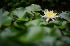 Gul lotusblomma Royaltyfri Fotografi