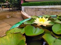 Gul lotusblomma royaltyfria foton