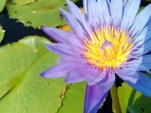 Gul lotusblomma, lila Arkivbilder