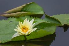 Gul lotusblomma med biet och bladet Arkivbild