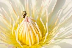 Gul lotusblomma med yellowflugan royaltyfri bild