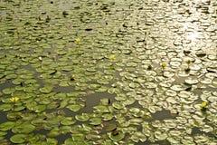 Gul lotusblomma och gröna blad Arkivfoto