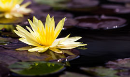 Gul lotusblomma på vatten Royaltyfri Fotografi