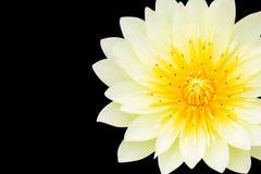 Gul lotusblomma som isoleras på black Arkivfoto