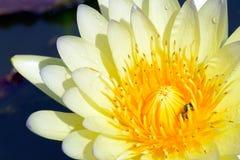 Gul lotusblommablomma Royaltyfri Bild