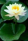 Gul lotusblommablomma Arkivfoto