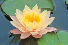 Gul lotusblommablomma Fotografering för Bildbyråer