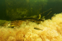 Gul Macarenia clavigera med fisken Arkivbild