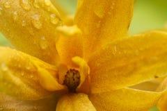 Gul magnolia Arkivbilder