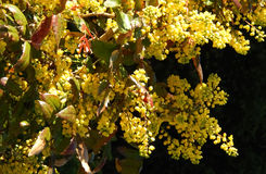 Gul Mahonia Aquifolium Arkivbild