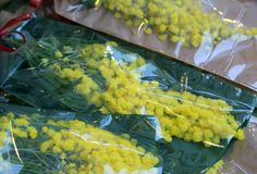 Gul mimosa för kvinnors dag på 8 mars Arkivbild