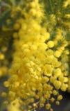 Gul mimosa som ger kvinnor i de internationella kvinnornas dag Arkivfoton