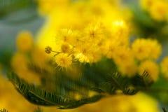 Gul mjuk mimosa på vårtid Arkivbilder