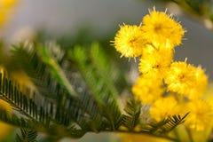 Gul mjuk mimosa på vårtid Royaltyfri Bild