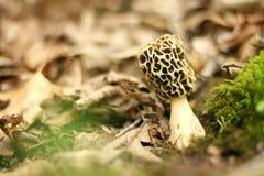 Gul Morel, Morchellachampinjon som växer i skog Arkivfoto