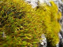 Gul moss Royaltyfria Foton