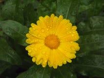 Gul mumblomma och krysantemumblomma Fotografering för Bildbyråer