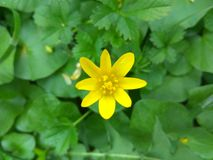 Gul mycket liten blomma i ett grönt fält arkivbilder