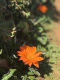 gul natur för blomma Fotografering för Bildbyråer