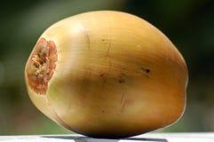Gul ny kokosnöt Royaltyfri Fotografi