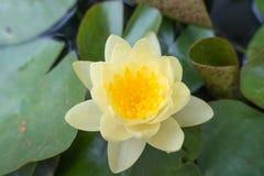 Gul oavkortad blom för lotusblommablomma Arkivbild