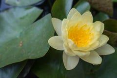 Gul oavkortad blom för lotusblommablomma Royaltyfri Bild