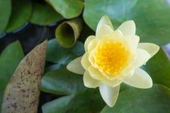 Gul oavkortad blom för lotusblommablomma Royaltyfri Fotografi