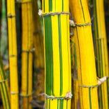 Gul och grön bambu Arkivbilder
