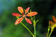 Gul och orange blandningfärg för härlig blomma med regndroppar arkivfoton