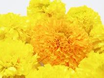 Gul och orange ringblommalägenhet som läggas i blommaform som isoleras på vit bakgrund Arkivbild