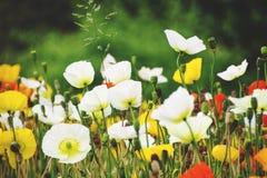 Gul och röd blommapoppie för vit, Fotografering för Bildbyråer