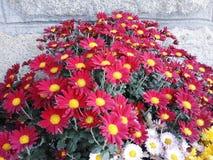 Gul och röd Chrysanthemum arkivbild
