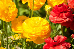 Gul och röd Ranunculus Royaltyfria Bilder