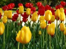 Gul och röd tulpan i trädgården Royaltyfria Bilder
