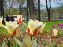 Gul och röd tulpanträdgård Royaltyfria Bilder
