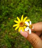 Gul och vit blomma som rymms av kvinnas hand arkivfoto