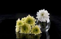 Gul och vit Chrysanthemum arkivbilder