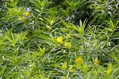 Gul oleander Arkivfoto