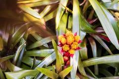 Gul orange bromeliarosettform blommar i blom Royaltyfri Fotografi