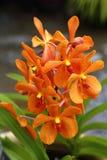 Gul orange orkidé Royaltyfria Foton