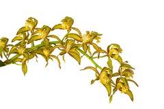 Gul Orchid Arkivfoton