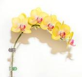 Gul Orchid Royaltyfri Fotografi