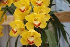 Gul Orchid Royaltyfria Foton