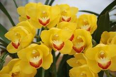 Gul Orchid Royaltyfria Bilder