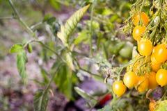 Gul organisk växt och frukt för körsbärsröd tomat i morgonlighen arkivfoto