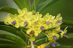 Gul orkidé Royaltyfria Foton