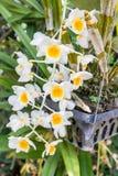 Gul orkidé, Dendrobiumfarmeri Paxton arkivbilder