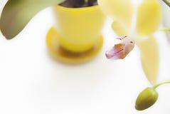 Gul orkidé i kruka på vit bakgrund Fotografering för Bildbyråer