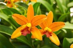 Gul orkidé i trädgård arkivfoton