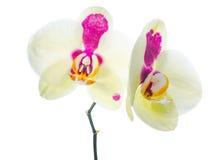 Gul orkidé med purpurfärgade fläckar som isoleras Arkivbilder
